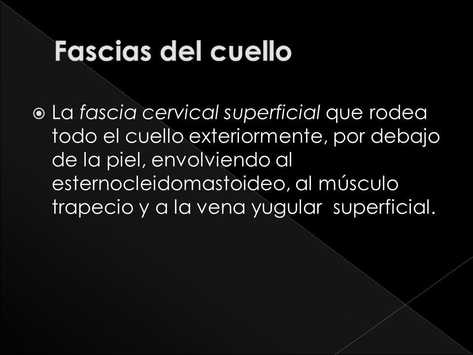 La fascia cervical superficial que rodea todo el cuello exteriormente, por debajo de la piel, envolviendo al esternocleidomastoideo, al músculo trapec