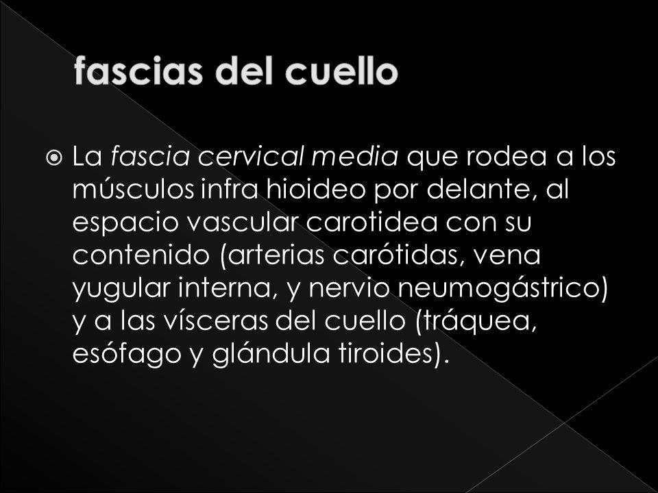 La fascia cervical media que rodea a los músculos infra hioideo por delante, al espacio vascular carotidea con su contenido (arterias carótidas, vena