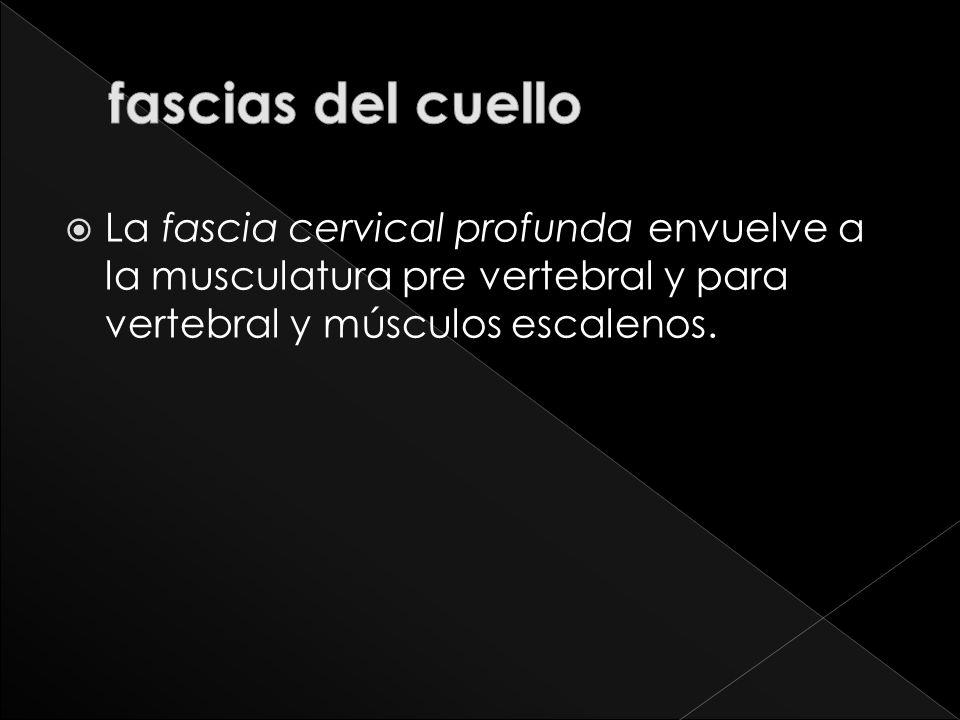 La fascia cervical profunda envuelve a la musculatura pre vertebral y para vertebral y músculos escalenos.