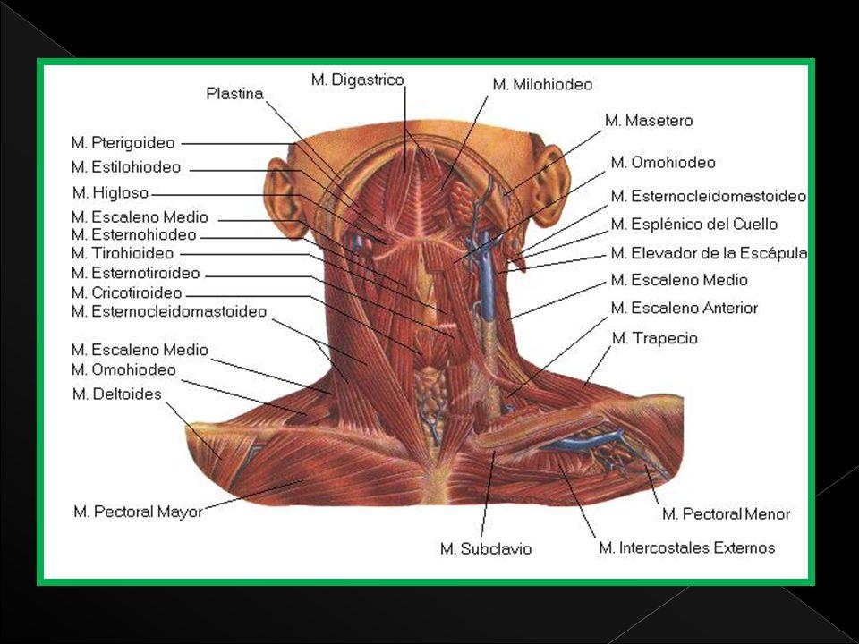 Origen: músculo alargado y a menudo muy delgado que va del atlas a la tercera vértebra dorsal.