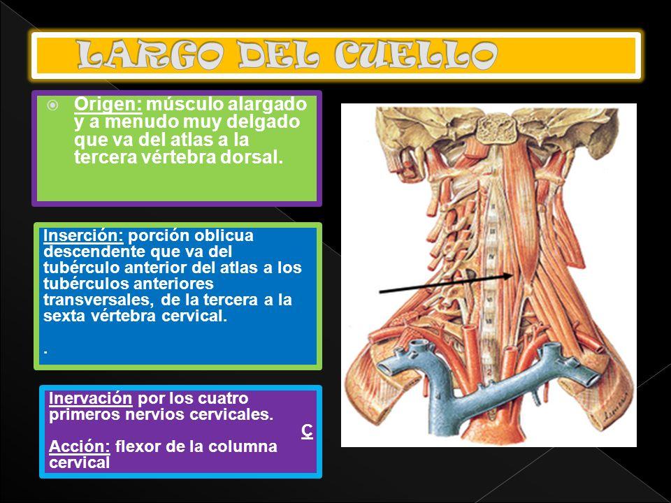 Origen: músculo alargado y a menudo muy delgado que va del atlas a la tercera vértebra dorsal. Inserción: porción oblicua descendente que va del tubér