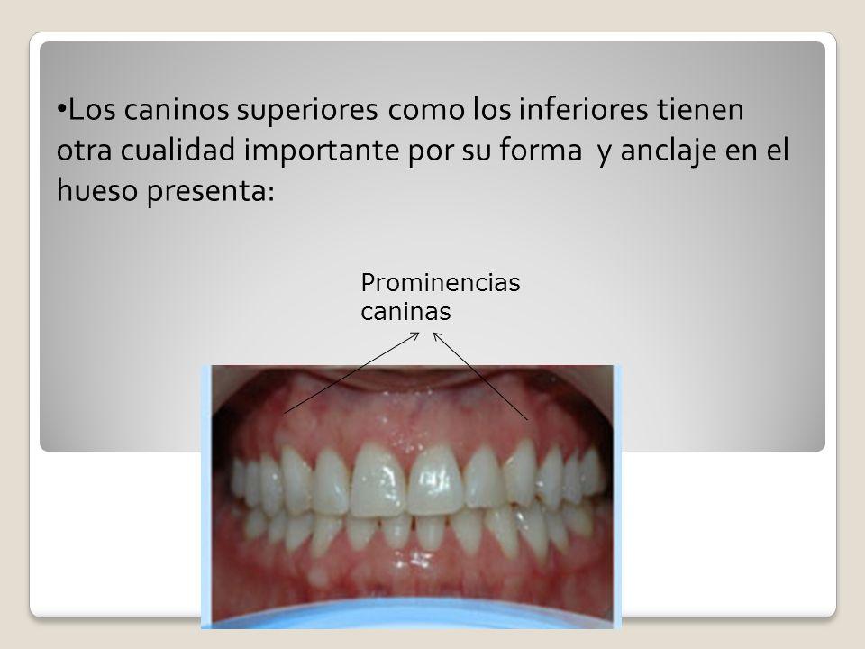 CARA INCISAL La cara incisal del canino superior destaca las proporciones de este diente en sentido mesiodistal y vestíbulo palatino.