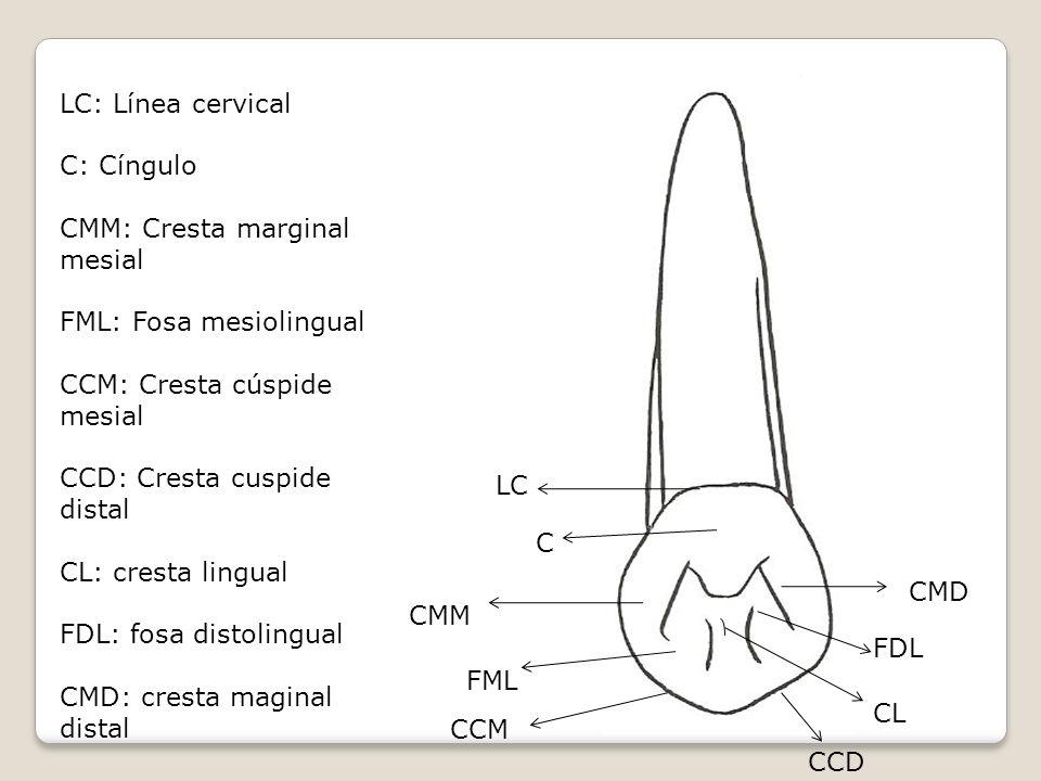 Cara palatina Dos crestas bien definidas y bastantes prominentes ( cresta marginal M y D ) La cara palatina de la corona tiene crestas marcadas por debajo del cíngulo.