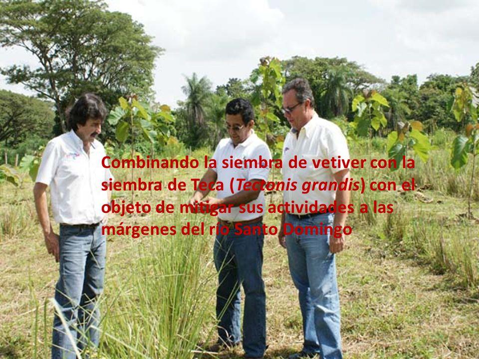 Combinando la siembra de vetiver con la siembra de Teca (Tectonis grandis) con el objeto de mitigar sus actividades a las márgenes del río Santo Domingo