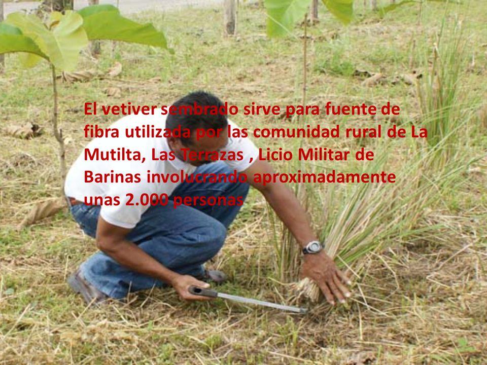 El vetiver sembrado sirve para fuente de fibra utilizada por las comunidad rural de La Mutilta, Las Terrazas, Licio Militar de Barinas involucrando ap