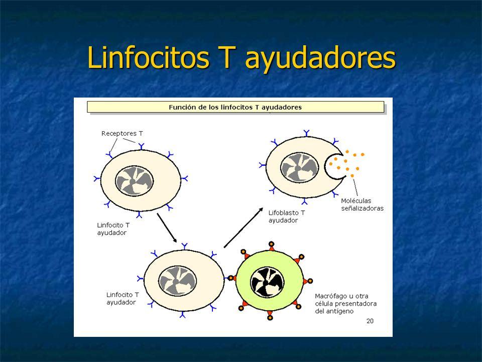 Linfocitos T ayudadores