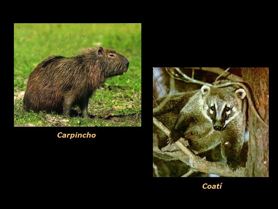 Coatí Carpincho