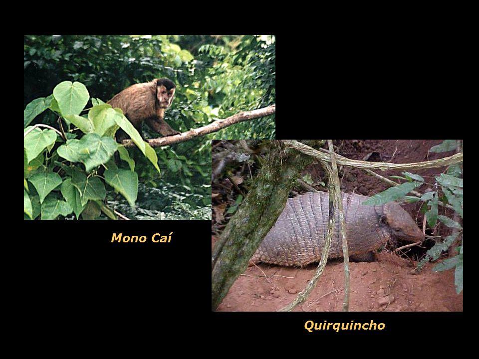 Mono Caí Quirquincho