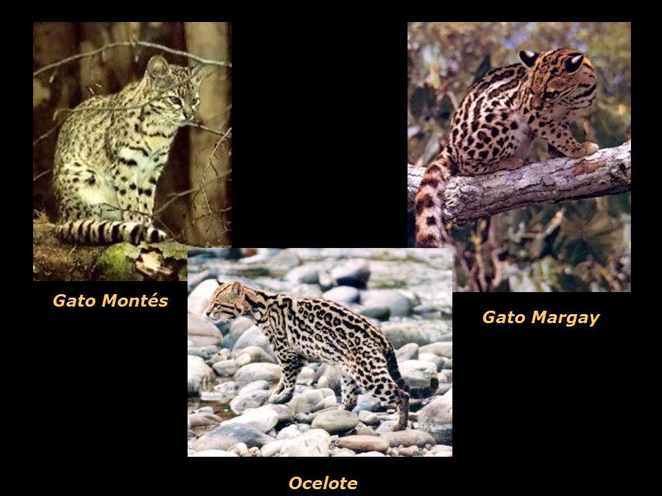 Gato Margay Gato Montés Ocelote