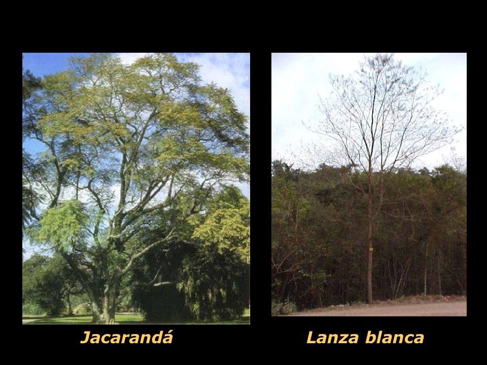 Lanza blanca Jacarandá
