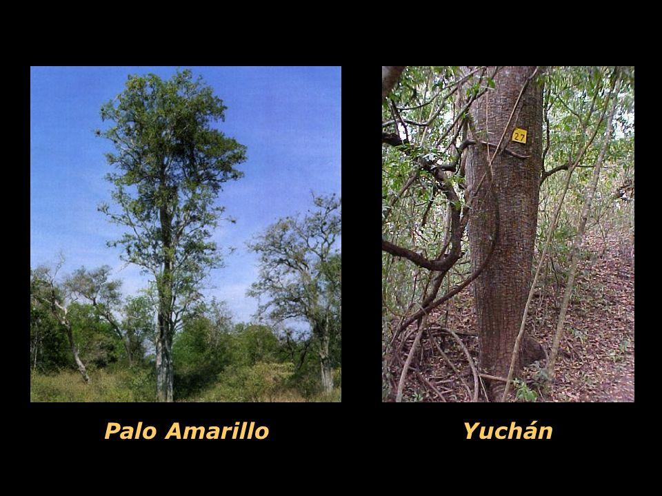 Yuchán Palo Amarillo
