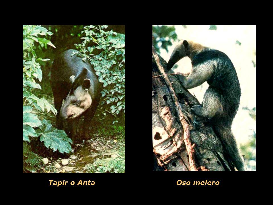 Tapir o AntaOso melero