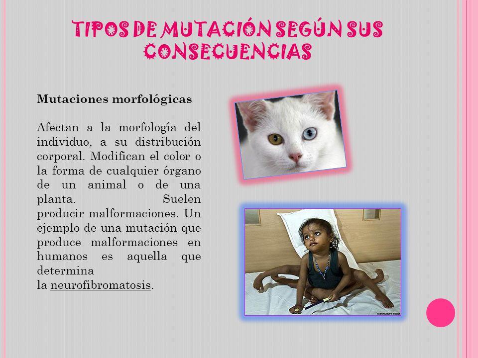 TIPOS DE MUTACIÓN SEGÚN SUS CONSECUENCIAS Mutaciones morfológicas Afectan a la morfología del individuo, a su distribución corporal.
