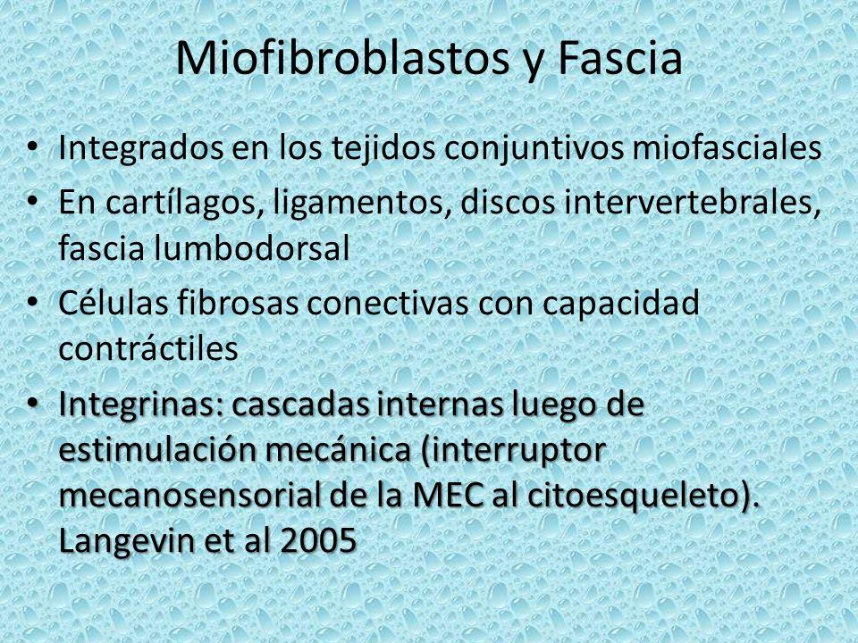 Miofibroblastos y Fascia Integrados en los tejidos conjuntivos miofasciales En cartílagos, ligamentos, discos intervertebrales, fascia lumbodorsal Cél