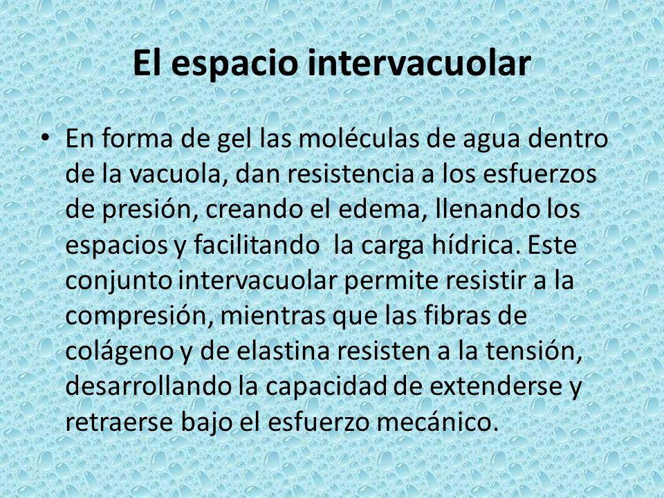 El espacio intervacuolar En forma de gel las moléculas de agua dentro de la vacuola, dan resistencia a los esfuerzos de presión, creando el edema, lle