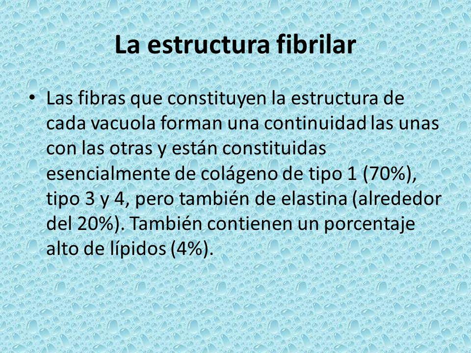 La estructura fibrilar Las fibras que constituyen la estructura de cada vacuola forman una continuidad las unas con las otras y están constituidas ese