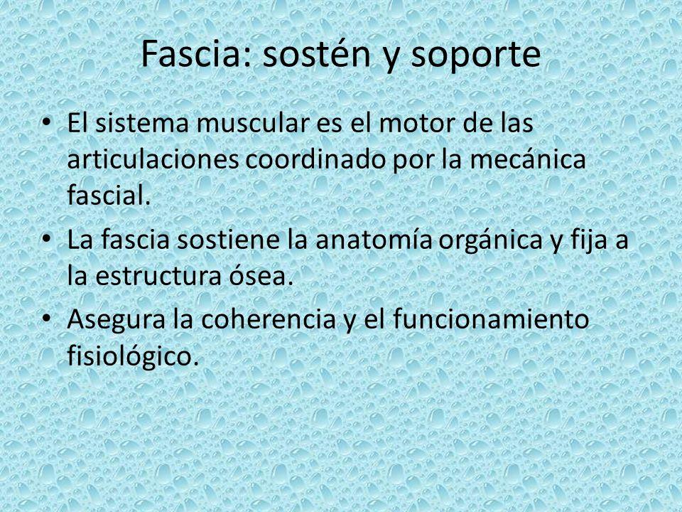 Fascia: sostén y soporte El sistema muscular es el motor de las articulaciones coordinado por la mecánica fascial. La fascia sostiene la anatomía orgá