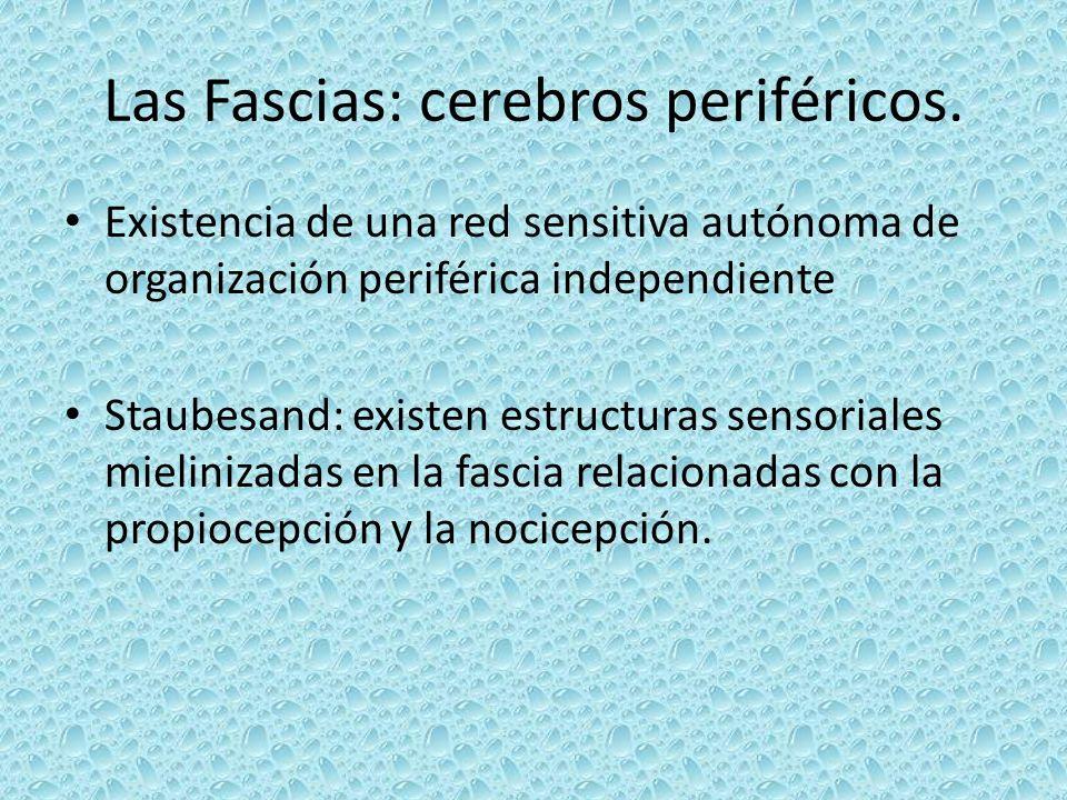 Las Fascias: cerebros periféricos. Existencia de una red sensitiva autónoma de organización periférica independiente Staubesand: existen estructuras s