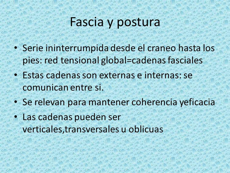 Fascia y postura Serie ininterrumpida desde el craneo hasta los pies: red tensional global=cadenas fasciales Estas cadenas son externas e internas: se