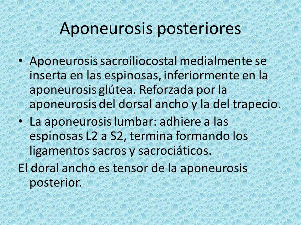 Aponeurosis posteriores Aponeurosis sacroiliocostal medialmente se inserta en las espinosas, inferiormente en la aponeurosis glútea. Reforzada por la