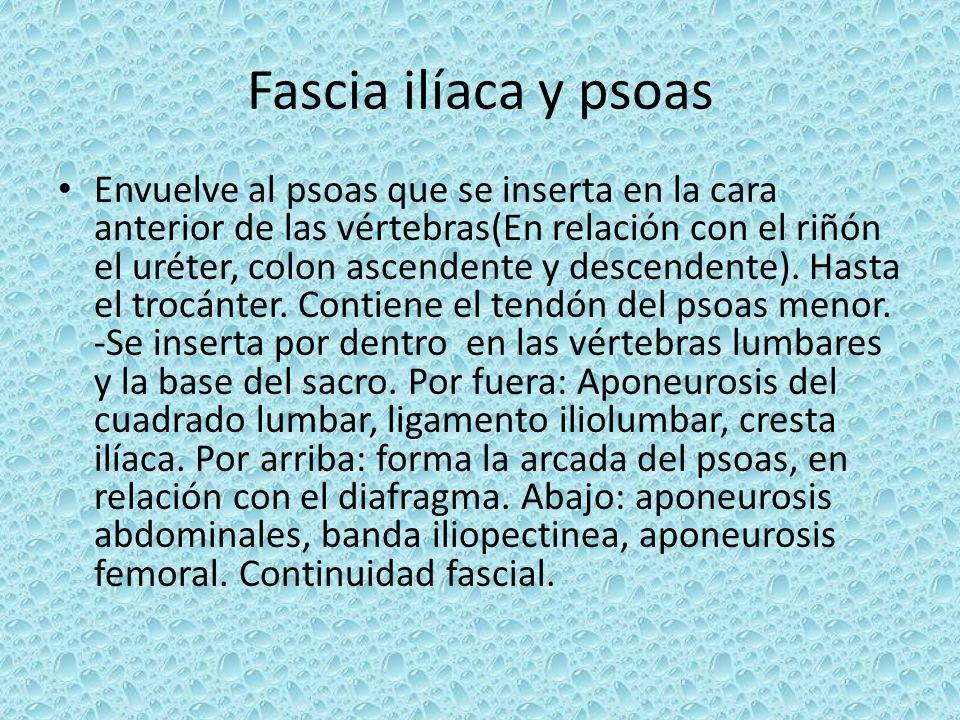 Fascia ilíaca y psoas Envuelve al psoas que se inserta en la cara anterior de las vértebras(En relación con el riñón el uréter, colon ascendente y des