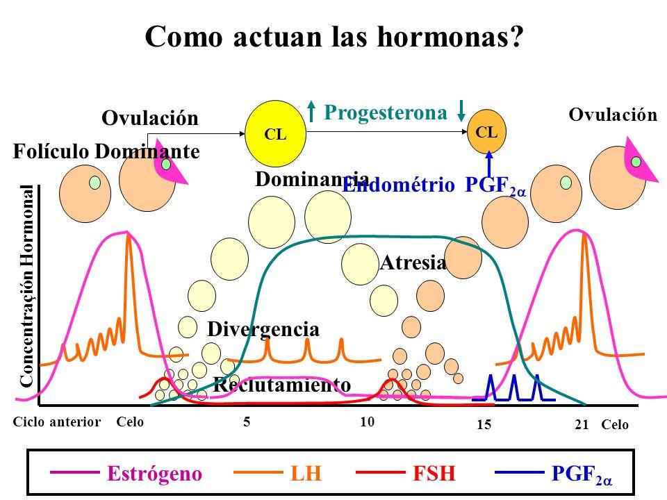 Concentraçión Hormonal Celo 510 15 Ciclo anterior 21 Como actuan las hormonas? Ovulación Divergencia Dominancia Atresia Reclutamiento Ovulación CL LH