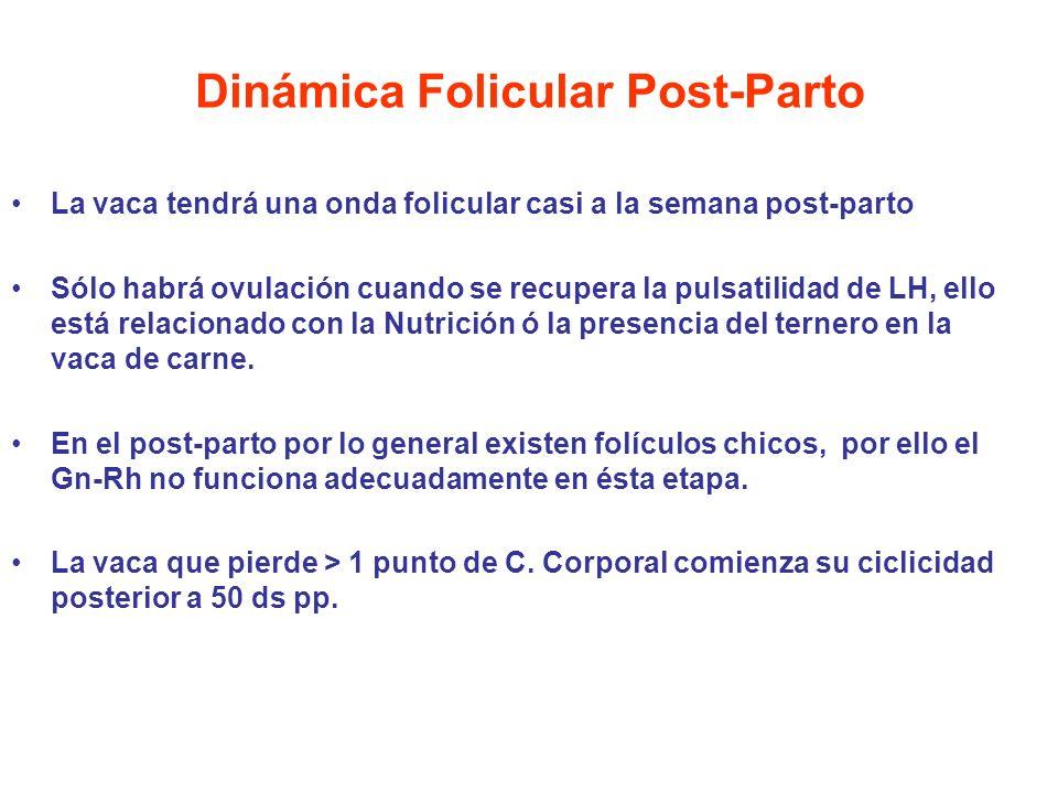 Dinámica Folicular Post-Parto La vaca tendrá una onda folicular casi a la semana post-parto Sólo habrá ovulación cuando se recupera la pulsatilidad de