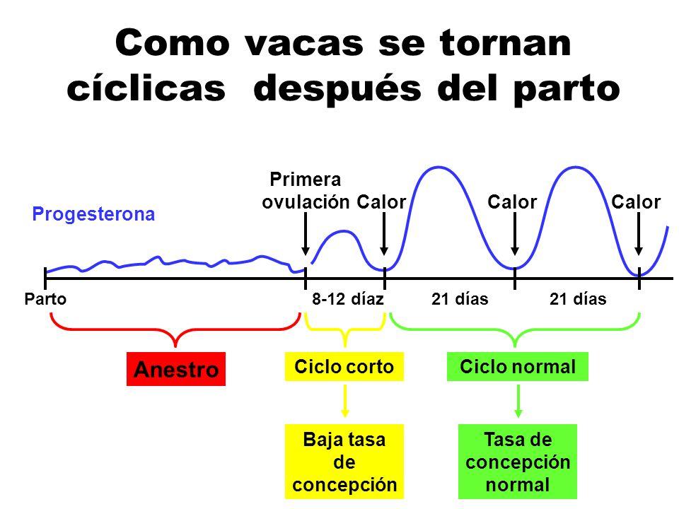Como vacas se tornan cíclicas después del parto Progesterona Parto Primera ovulación 8-12 díaz21 días Anestro Ciclo cortoCiclo normalBaja tasa de conc