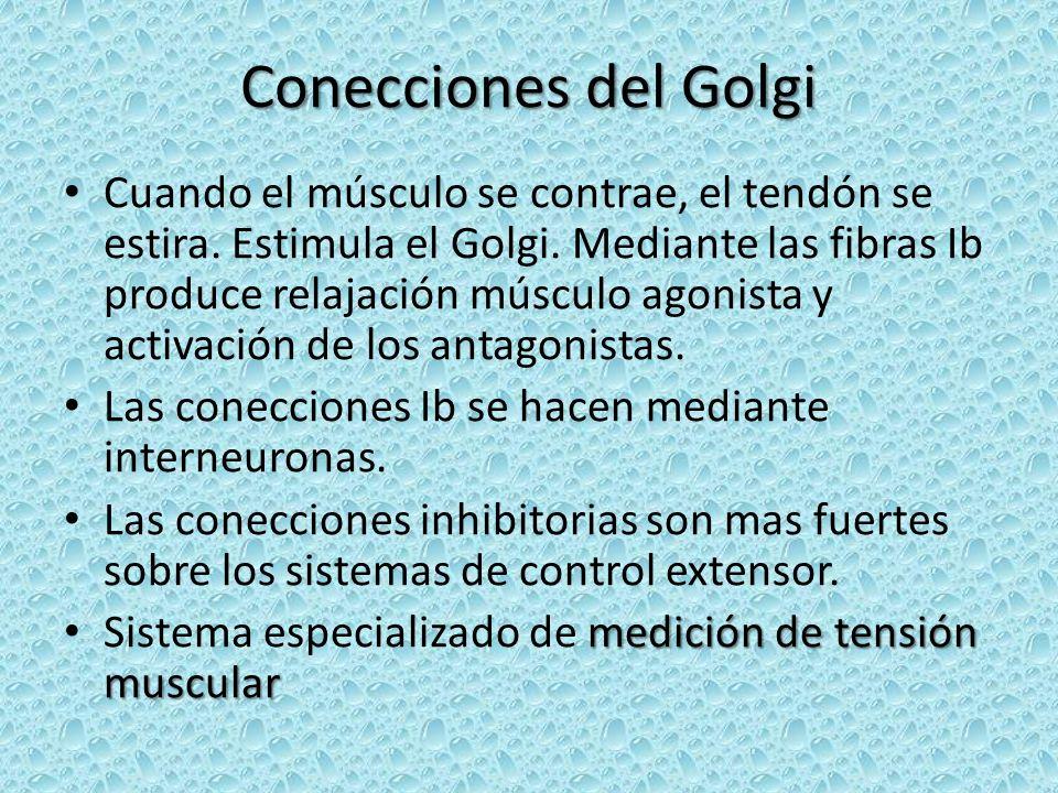 Conecciones del Golgi Cuando el músculo se contrae, el tendón se estira. Estimula el Golgi. Mediante las fibras Ib produce relajación músculo agonista