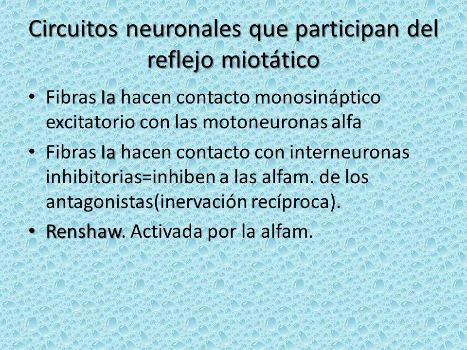 Circuitos neuronales que participan del reflejo miotático Ia Fibras Ia hacen contacto monosináptico excitatorio con las motoneuronas alfa Ia Fibras Ia hacen contacto con interneuronas inhibitorias=inhiben a las alfam.