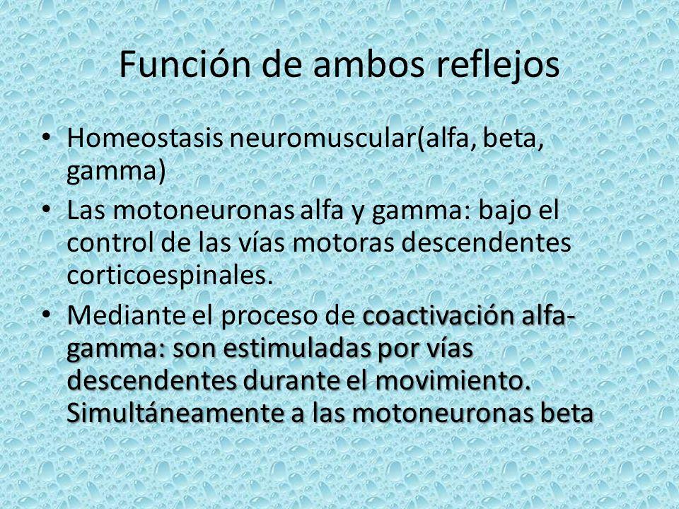 Función de ambos reflejos Homeostasis neuromuscular(alfa, beta, gamma) Las motoneuronas alfa y gamma: bajo el control de las vías motoras descendentes