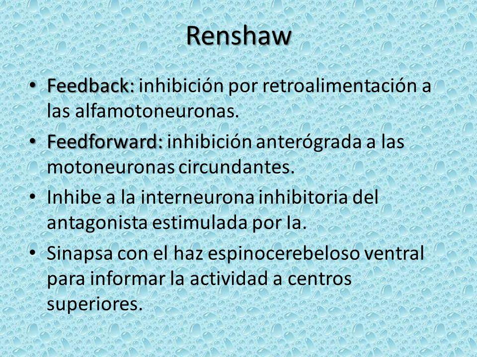 Renshaw Feedback: Feedback: inhibición por retroalimentación a las alfamotoneuronas. Feedforward: Feedforward: inhibición anterógrada a las motoneuron