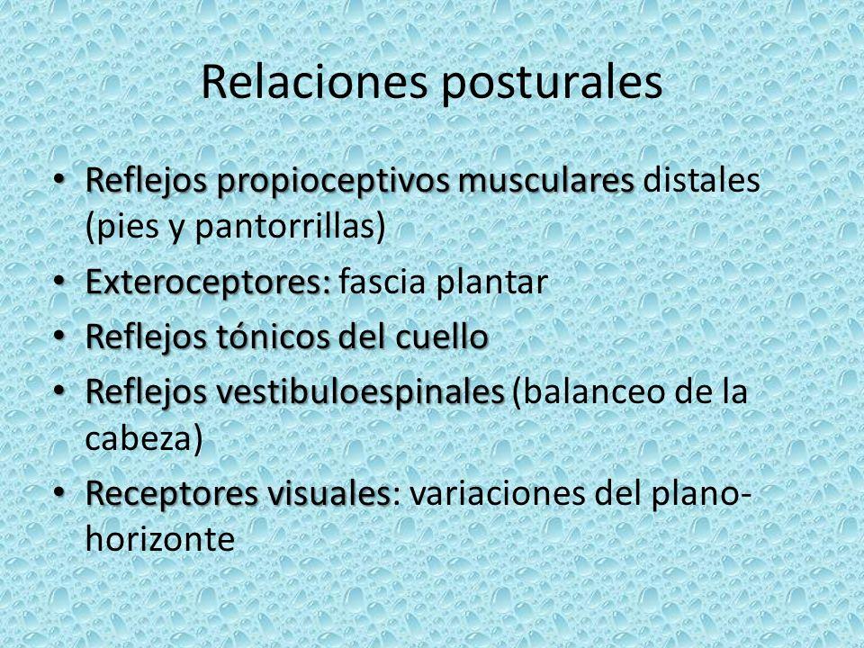 Relaciones posturales Reflejos propioceptivos musculares Reflejos propioceptivos musculares distales (pies y pantorrillas) Exteroceptores: Exterocepto