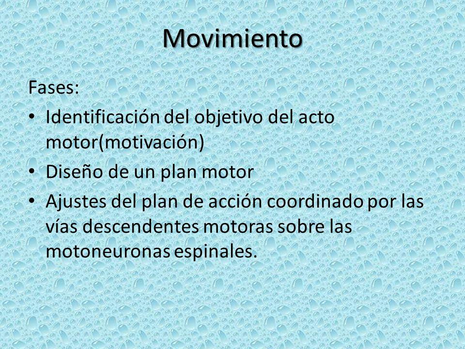 Movimiento Fases: Identificación del objetivo del acto motor(motivación) Diseño de un plan motor Ajustes del plan de acción coordinado por las vías descendentes motoras sobre las motoneuronas espinales.