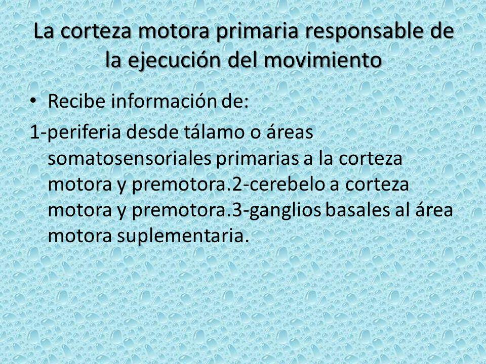 La corteza motora primaria responsable de la ejecución del movimiento Recibe información de: 1-periferia desde tálamo o áreas somatosensoriales primar