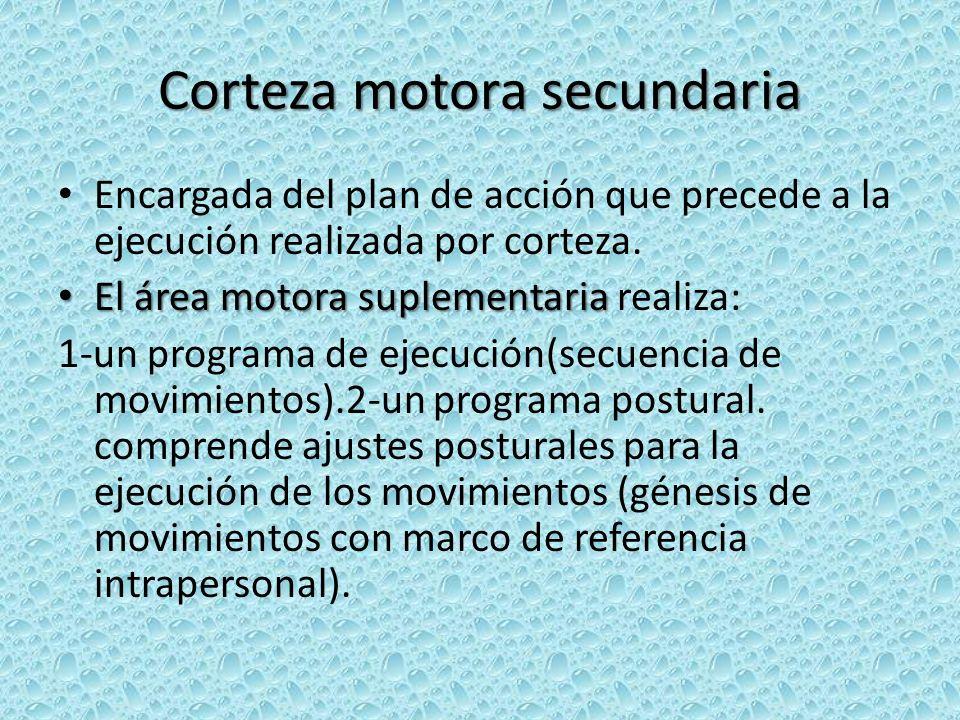 Corteza motora secundaria Encargada del plan de acción que precede a la ejecución realizada por corteza. El área motora suplementaria El área motora s