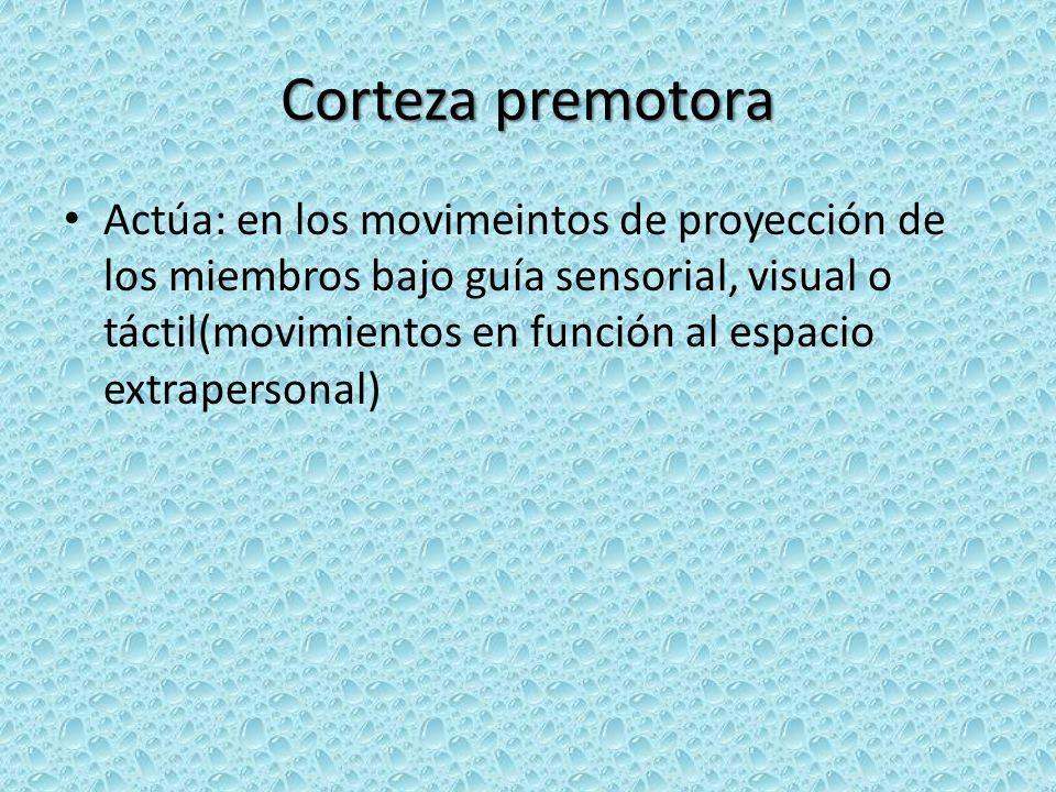 Corteza premotora Actúa: en los movimeintos de proyección de los miembros bajo guía sensorial, visual o táctil(movimientos en función al espacio extrapersonal)