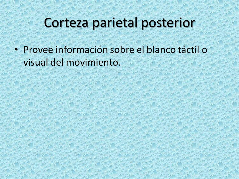 Corteza parietal posterior Provee información sobre el blanco táctil o visual del movimiento.