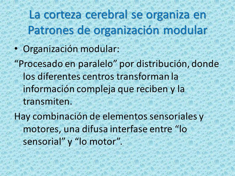La corteza cerebral se organiza en Patrones de organización modular Organización modular: Procesado en paralelo por distribución, donde los diferentes centros transforman la información compleja que reciben y la transmiten.