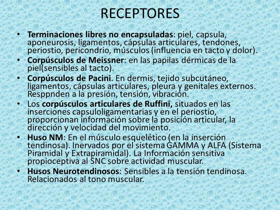 RECEPTORES Terminaciones libres no encapsuladas: piel, capsula, aponeurosis, ligamentos, cápsulas articulares, tendones, periostio, pericondrio, músculos (influencia en tacto y dolor).