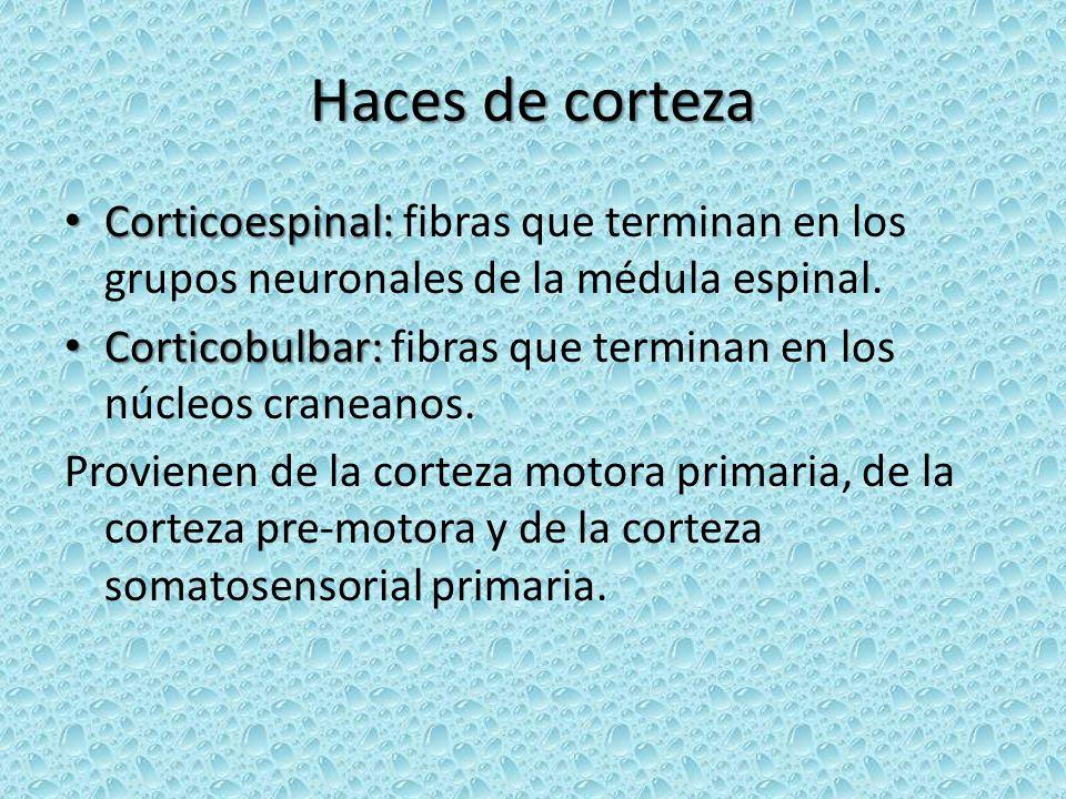 Haces de corteza Corticoespinal: Corticoespinal: fibras que terminan en los grupos neuronales de la médula espinal. Corticobulbar: Corticobulbar: fibr