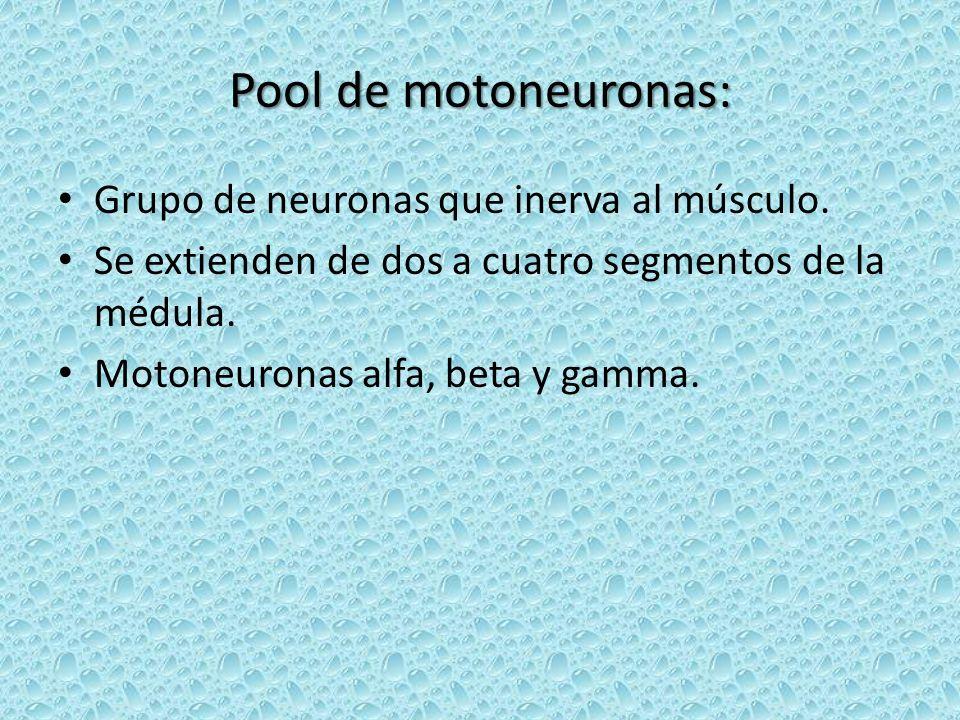Pool de motoneuronas: Grupo de neuronas que inerva al músculo. Se extienden de dos a cuatro segmentos de la médula. Motoneuronas alfa, beta y gamma.