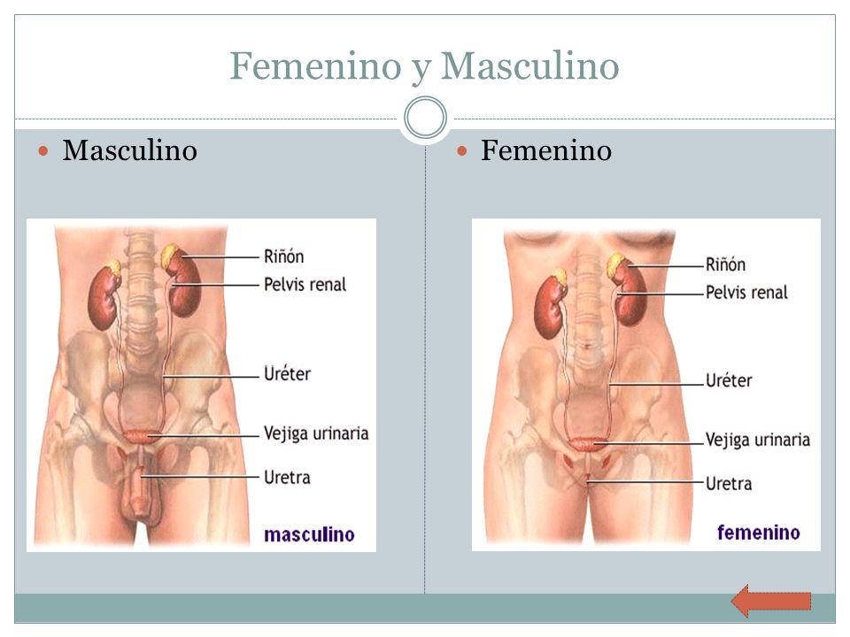 Femenino y Masculino Masculino Femenino