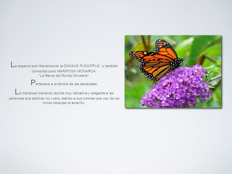 L a especie que liberamos es la DANAUS PLEXIPPUS o también conocida como MARIPOSA MONARCA, La Reina del Mundo Silvestre .