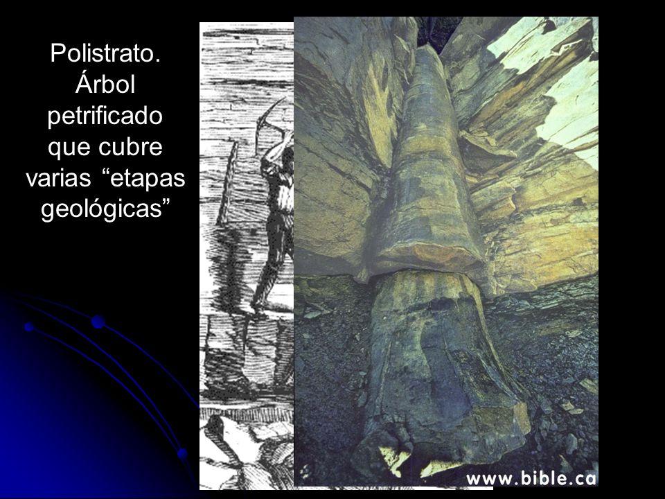 Polistrato. Árbol petrificado que cubre varias etapas geológicas