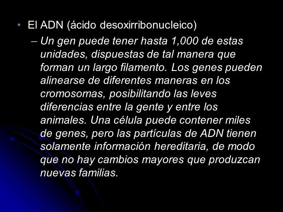 El ADN (ácido desoxirribonucleico)El ADN (ácido desoxirribonucleico) –Un gen puede tener hasta 1,000 de estas unidades, dispuestas de tal manera que forman un largo filamento.
