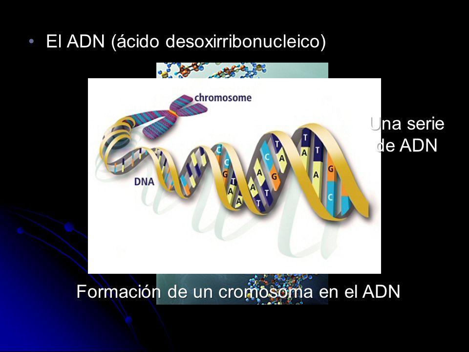 El ADN (ácido desoxirribonucleico)El ADN (ácido desoxirribonucleico) Una serie de ADN Formación de un cromosoma en el ADN