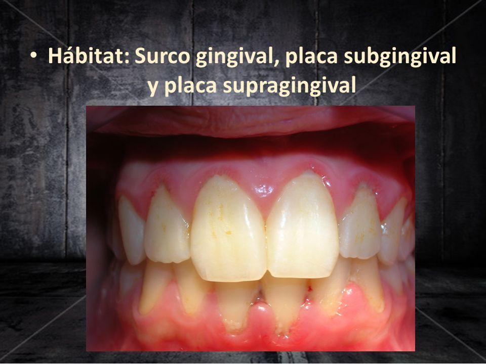 Hábitat: Surco gingival, placa subgingival y placa supragingival