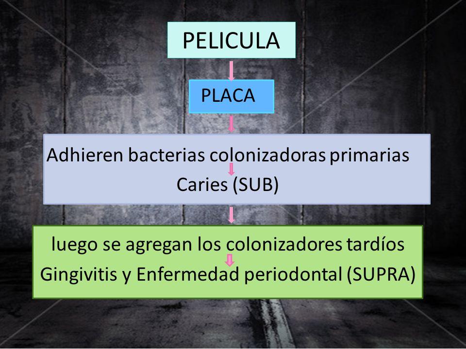 PLACA Adhieren bacterias colonizadoras primarias Caries (SUB) luego se agregan los colonizadores tardíos Gingivitis y Enfermedad periodontal (SUPRA) P