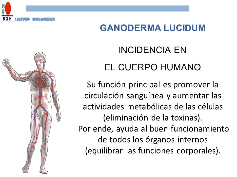 INCIDENCIA EN EL CUERPO HUMANO Su función principal es promover la circulación sanguínea y aumentar las actividades metabólicas de las células (elimin